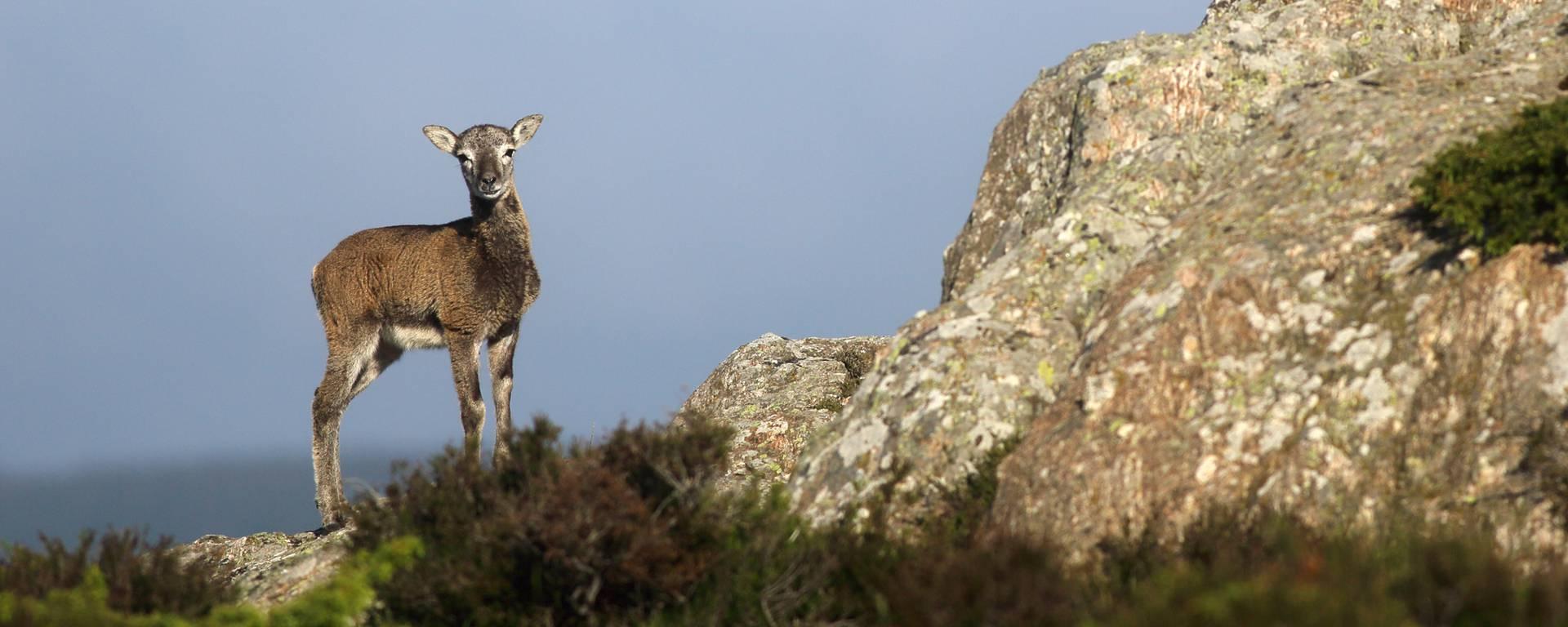Mountain goat ©G.Souche-PaysHLV