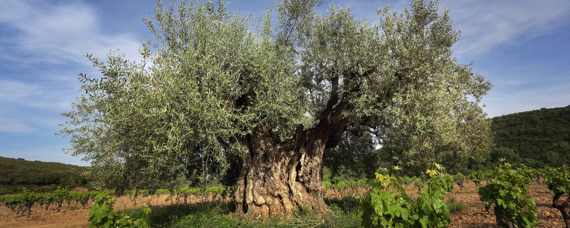 olivier et vignes