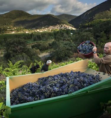 Grape harvest in Roquebrun @G. Souche