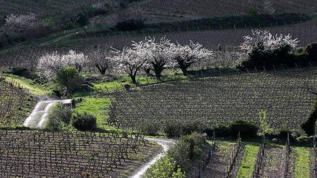 Vineyards and cherry trees in the Haute Vallée de l'Orb ©.G. Souche