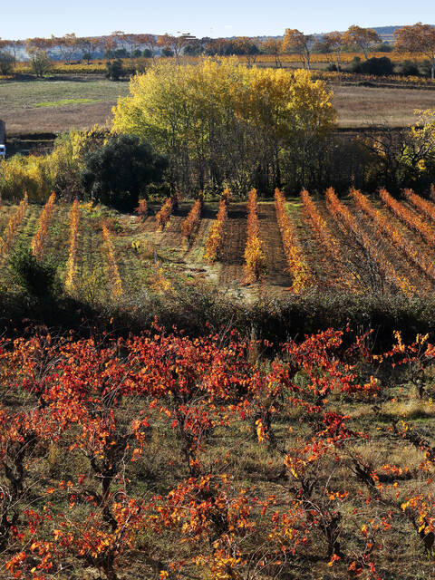 Vines in the Cotes de Thongue ©G.Souche
