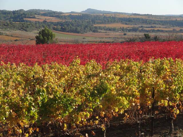 Vines in the Pays d'Art et d'Histoire Haut Languedoc et Vignobles