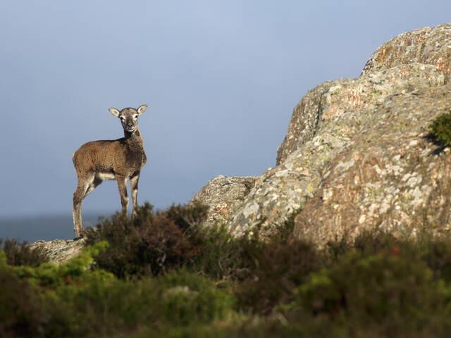 Mouflon©G.Souche-Payshlv