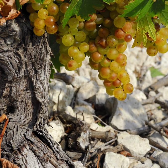 Vignes Pays d'Art et d'Histoire Haut Languedoc et Vignobles