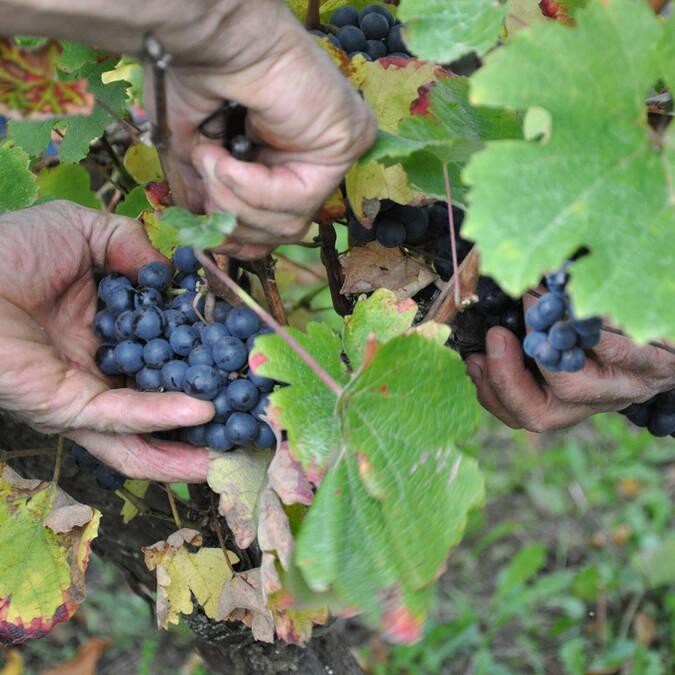 Harvest time ©L.Abadie