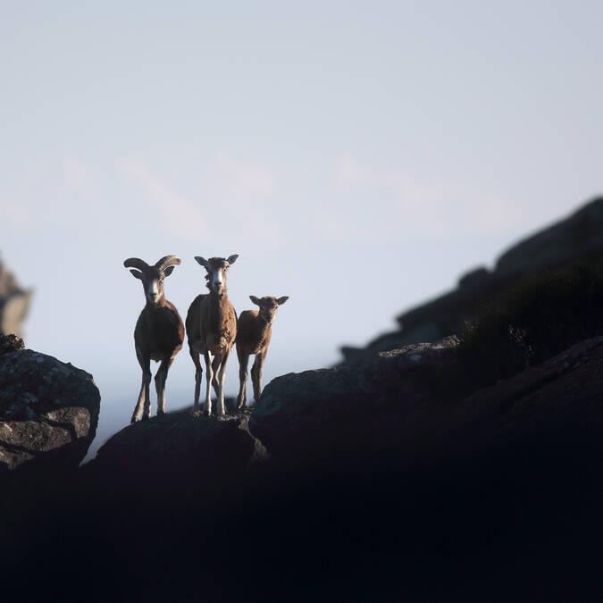 Mountain goats © G. Souche - Pays Haut Languedoc et Vignobles